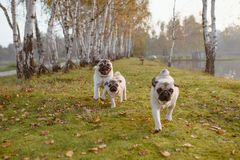 A group of three pugs, dogs are running towards the camera, on green grass and autumn leaves in a park, near a lake or a pond royalty free stock image