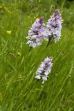 Group of three heath spotted orchid in green grass stock photos