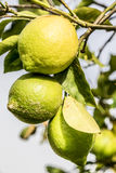 Group of three lemons from Sicily on the tree. Group of three green lemons from Sicily on the tree Royalty Free Stock Photos