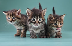 Group of three little kittens together Royalty Free Stock Photo