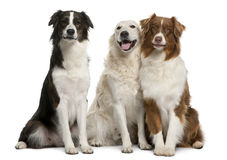 Group of three mixed-breed dogs. In front of white background Royalty Free Stock Photo