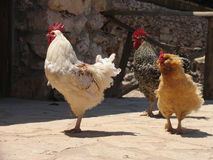 Group of three pacing roosters. Of white, brown and ginger colors Stock Photography