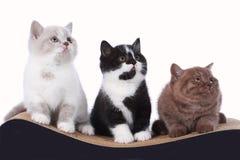 Three british shorthair kitten sitting on a cat scratching post Stock Photos