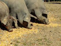 Group of three pigs eating corn feed on the ground Stock Image