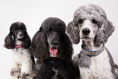 Group of three poodles Royalty Free Stock Image