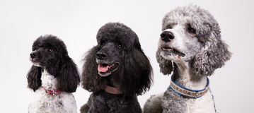 Group of three poodles