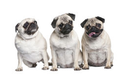 Group of three pug in a row Royalty Free Stock Photos