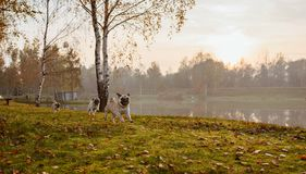 A group of three pugs, dogs are running on green grass and autumn leaves in a park, near a lake or a pond at sunset stock photos