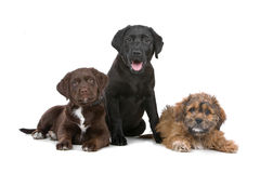 Group of three puppies Stock Photography