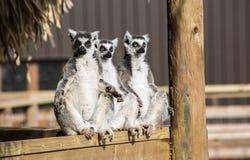 Group of three ring tailed lemurs sunbathing Stock Image