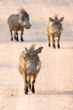 Group of three running warthogs Stock Photos