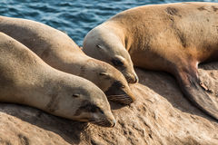 Group of Three Sleeping Seals in La Jolla, California Royalty Free Stock Image