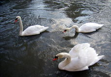 Group of three swans moving forward on the surface of the water Royalty Free Stock Images