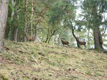 Group of three young deers on a hill stock images
