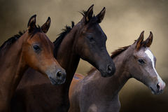 Group of three young horses Royalty Free Stock Photos
