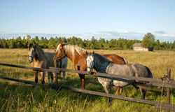 Group of three young horses Stock Photography