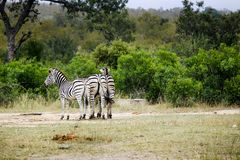 Group of three African Zebras in the wild royalty free stock photography