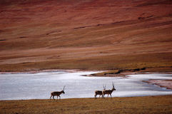 Group of Tibetan Antelope Stock Photography