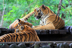 Group Tiger Royalty Free Stock Photography
