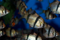 Group of Tiger Barbs Royalty Free Stock Photo