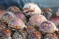 Group of Tiger Cowrie Cypress tigris, shell with beautiful art arranged Royalty Free Stock Images