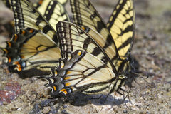 A group of tiger swallowtail butterflies (Papilio glaucas) Stock Photos