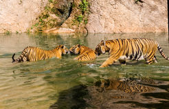 Group of tigers play fighting in the water Stock Photo
