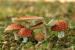 Group of toadstools Royalty Free Stock Photography