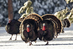 Group of tom turkeys strutting in snow Royalty Free Stock Photos