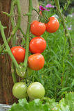 Group of tomatoes. Stock Image