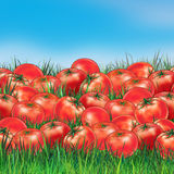 Group Tomatoes on green grass Royalty Free Stock Image