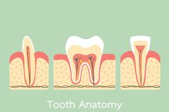 Group of tooth anatomy structure including the bone and gum, molar, incisor, canine. Dental cartoon vector flat style cute character for design stock illustration