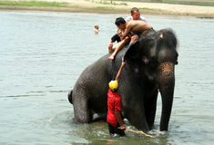 Bathing with elephants Stock Photo