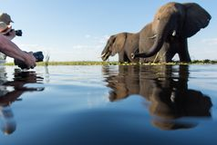 A group of tourists photographing elephants at water level. A horizontal, surface level, colour image of a group of tourists photographing two curious elephants royalty free stock images