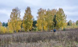 A group of tourists walking through the tall grass. A group of tourists walking through the tall grass towards a birch grove stock images
