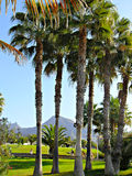A group of towering palm trees. A few tall palm trees against the sky, greenery and the volcano Teide. Tenerife Royalty Free Stock Images