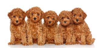 Group of Toy Poodle puppies Royalty Free Stock Images