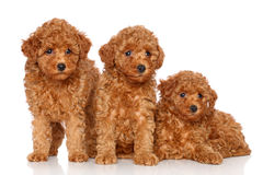 Group of toy poodle puppies Royalty Free Stock Photography