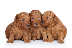 Group of a Toy poodle Puppy (20 days) Stock Photography