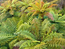 Group of tree ferns Stock Images