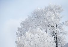 Group of tree with frost Stock Photo