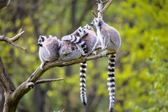 Group on a tree Ring-tailed Lemur, Lemur catta, Royalty Free Stock Photo