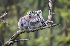 Group on a tree Ring-tailed Lemur, Lemur catta, Royalty Free Stock Photography