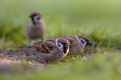 Group of Tree sparrow Royalty Free Stock Images