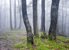 Group of trees in a forest with green grass & fog Stock Photo