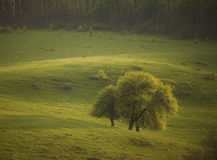 Group of trees in a green field in spring royalty free stock image