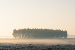 Group of trees in the middle of a meadow in a misty morning Stock Photos