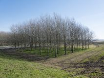 Group of trees near motorway A27 in zuid flevoland near Almere in the netherlands. On sunny winter day royalty free stock photos