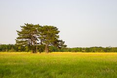 A group of trees stand alone in the midst of a trembling field Stock Photo
