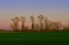 A group of trees at sunset. They are planted in a row At the end of the meadow Stock Photo